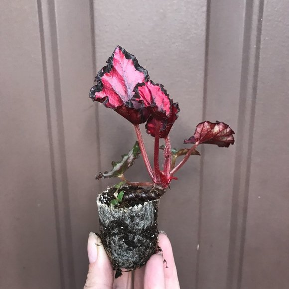 Begonia - Harmony's Red Ribon - Starter Plant